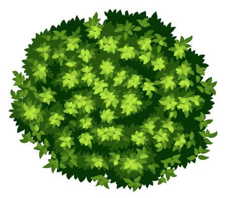 Ilustrace zblízka Pyrus calleryana