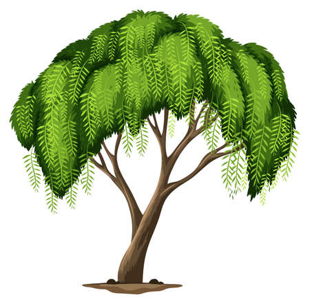 peppertree: Illustration of a Californian pepper tree on a white background