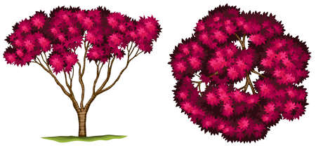 Illustration of a bloodgood japanese maple tree on a white background