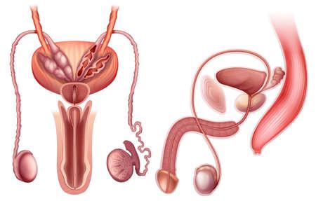 scrotum: Ilustraci�n de un �rgano reproductor masculino sobre un fondo blanco Vectores