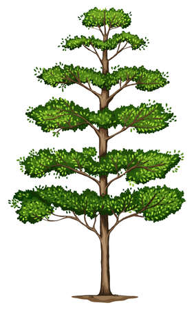 duramen: Ilustración de un Terminalia ivorensis árbol sobre un fondo blanco Vectores