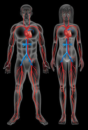 blood circulation: Circulatory system of a male and a female on a black background