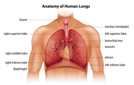 partes del cuerpo humano: Anatomía de los pulmones humanos