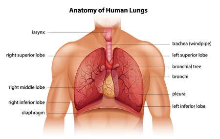 anatomie humaine: Anatomie des poumons humains Illustration