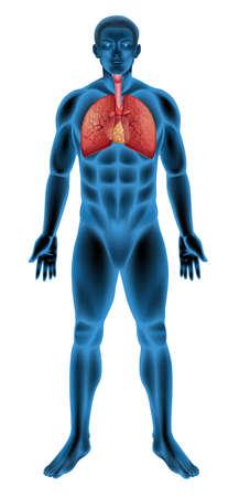 human anatomy: Anatomy of the human respiratory system