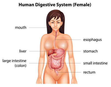 female large intestine: Human digestive system of a female