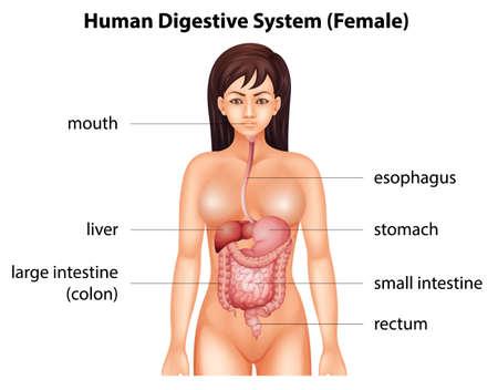 sistema digestivo humano: Sistema digestivo humano de una hembra