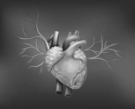 tricuspid valve: A human heart on a gray background