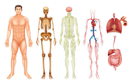 skeleton: Various human body systems and organs Illustration