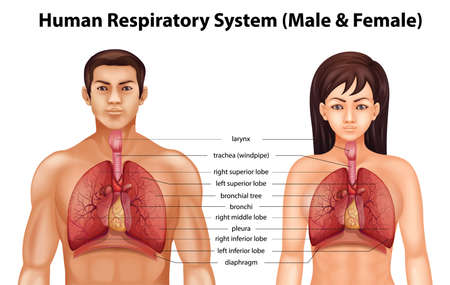 chest cavity: The human respiratory system