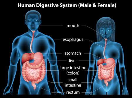 systeme digestif: Le syst�me digestif humain