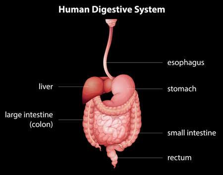 sistema digestivo: El sistema digestivo humano Vectores