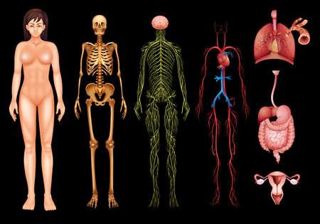 sistema nervioso central: Ilustración de varios sistemas del cuerpo humano y los órganos