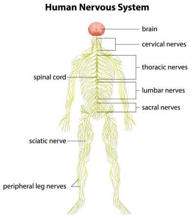 sistema nervioso central: Una imagen que muestra el sistema nervioso humano