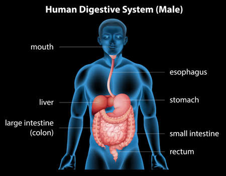 duodenum: Illustration of the human digestive system
