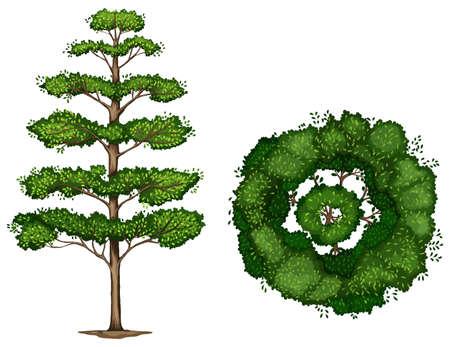 trompo de madera: Una planta Terminalia ivorensis sobre un fondo blanco