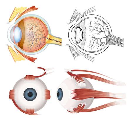 yeux: Anatomie de l'?il humain sur un fond blanc Illustration