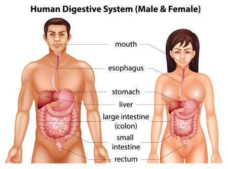 Digestive system of humans Illustration