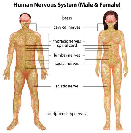 Mužské a ženské nervový systém na bílém pozadí