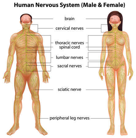 human body parts: The male and female nervous systems on a white background