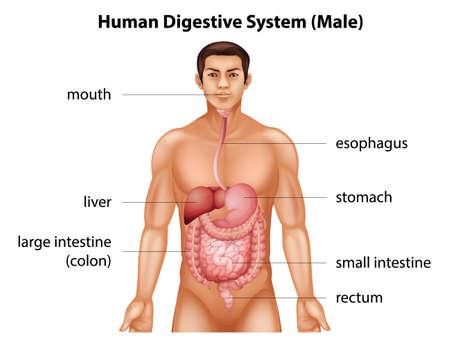 systeme digestif: Le syst�me digestif de l'homme Illustration