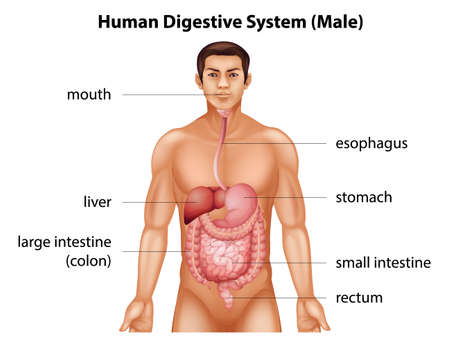 large intestine: The digestive system of human