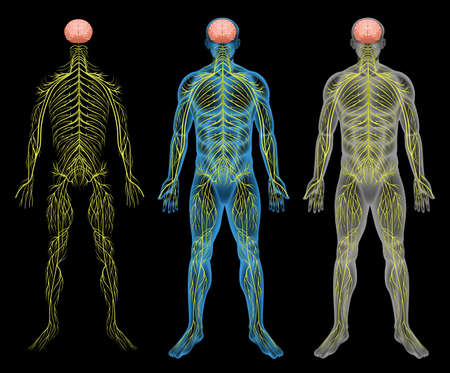 The human nervous system on a black background