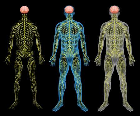 cellule nervose: Il sistema nervoso umano su uno sfondo nero Vettoriali