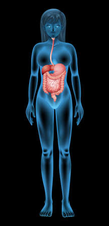 cecum: The female digestive system