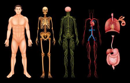 Varios sistemas del cuerpo humano y órganos sobre un fondo negro Ilustración de vector