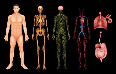 body pump: Various human body systems and organs on a black background Illustration