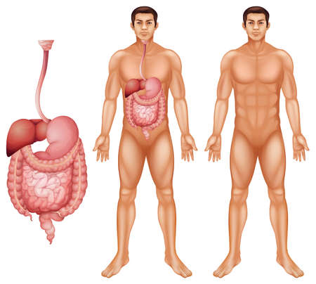 The human digestive system on a white background