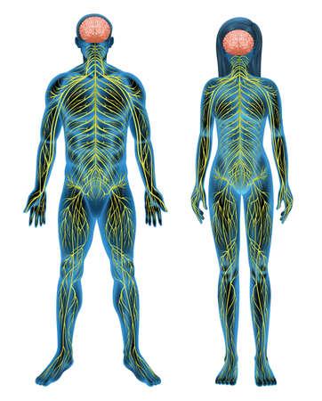 Het menselijke zenuwstelsel op een witte achtergrond