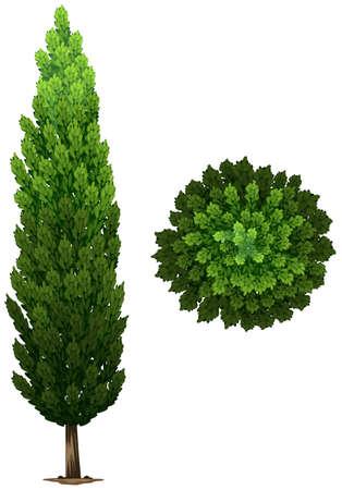 deciduous: A Swedish columnar plant on a white background Illustration