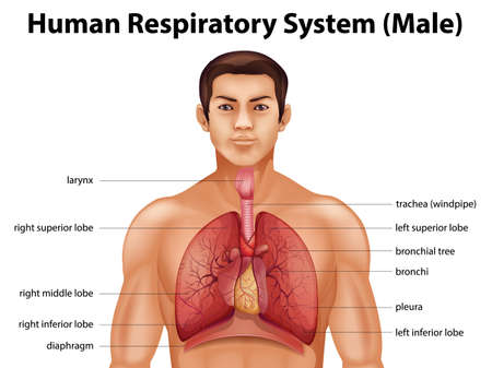 persona respirando: Ilustraci�n del sistema respiratorio humano Vectores