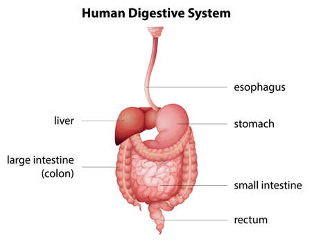digestive anatomy: Illustration of the human digestive system