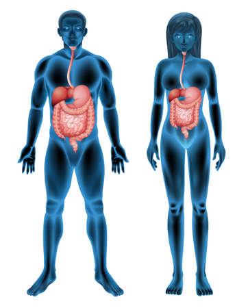 systeme digestif: Le syst�me digestif de l'homme sur un fond blanc