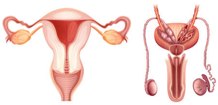 sexo femenino: Los sistemas reproductores masculino y femenino sobre un fondo blanco