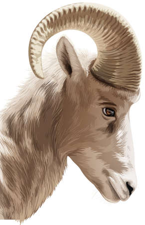 rams horns: Illustration of a head of a mountain goat