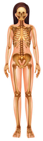 axial: Illustration of the human skeletal system Illustration