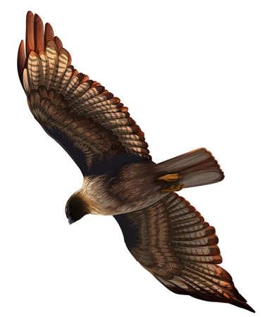 aguila real: Un águila sobre un fondo blanco