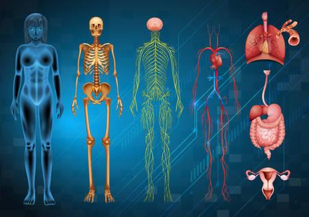 sistema nervioso central: Varios sistemas del cuerpo humano y �rganos