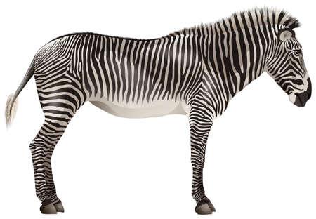 endangered: Illustration of a close up zebra Illustration