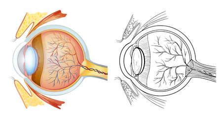 optic nerves: Diagram of an eye anatomy