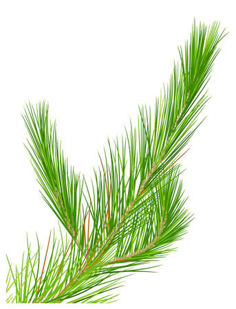 pine needle: Illustration of a close up pine leaves
