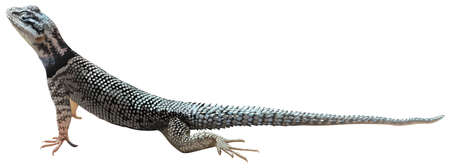herpetology: A lizard on a white background