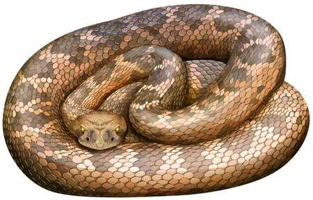 serpiente de cascabel: Ilustración de un primer plano de la serpiente cascabel