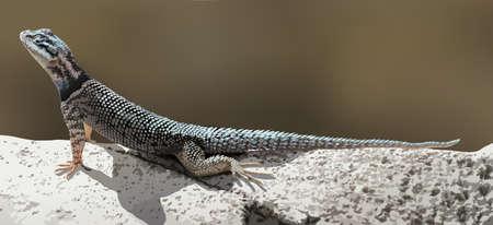 chordata: A lizard crawling
