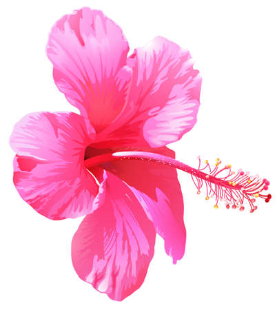 plantae: A pink gumamela flower on a white background Illustration