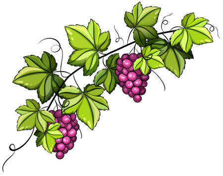 A grapevine with fruits on a white background Illustration
